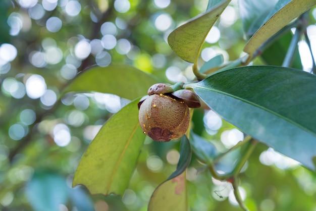 Mangostão, uma rainha da fruta na árvore de mangostão