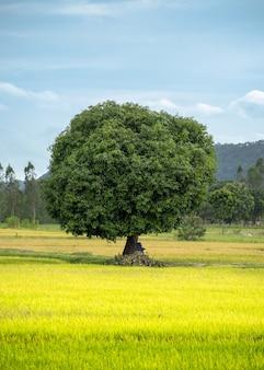 Mangueira no campo de arroz com céu azul