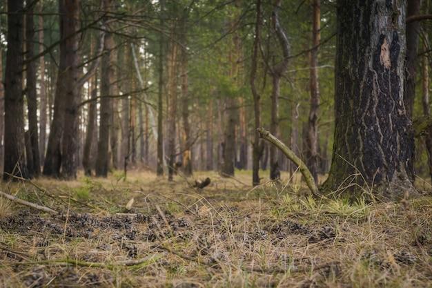 Manhã de floresta de pinheiros