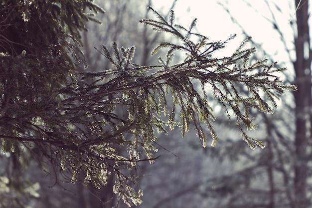 Manhã gelada em uma floresta de abetos