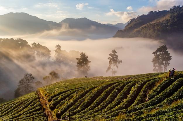 Manhã nublada, amanhecer, em, jardim morango, vista, de, manhã, névoa, em, doi, angkhang, montanha, chiang mai, tailandia