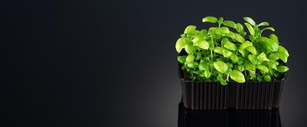 Manjericão microgreens em um recipiente crescente em um close-up de fundo preto com um lugar para texto.