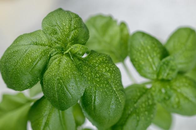 Manjericão orgânico fresco verde com gotas de água