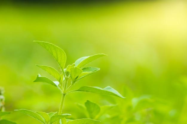 Manjericão peludo ou árvore do ocimum basilicum na luz solar da manhã. é ervas e ingredientes para cozinhar em comida tailandesa.