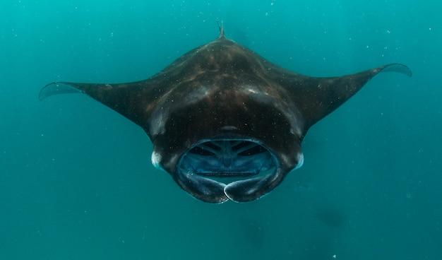 Manta ray nas maldivas