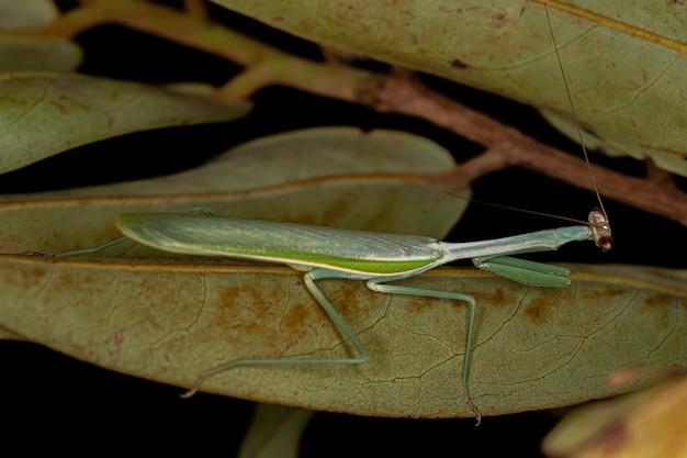 Mantídeo macho adulto do gênero oxyopsis