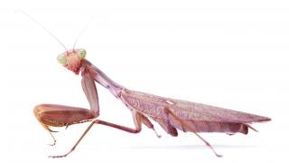 Mantis, predando