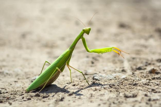Mantis rastejando em uma estrada de terra ao sol do meio-dia