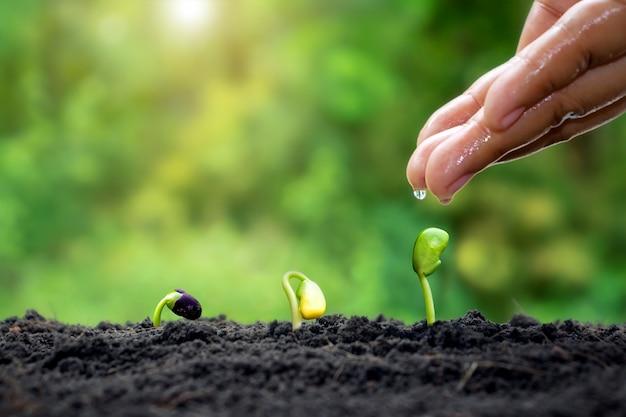 Manutenção de plantas e regar as mudas que crescem em ordem de germinação em solos férteis
