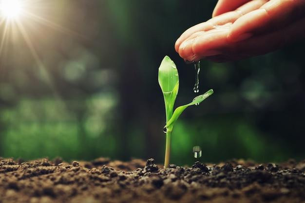 Mão, aguando, ot, jovem, milho, em, jardim