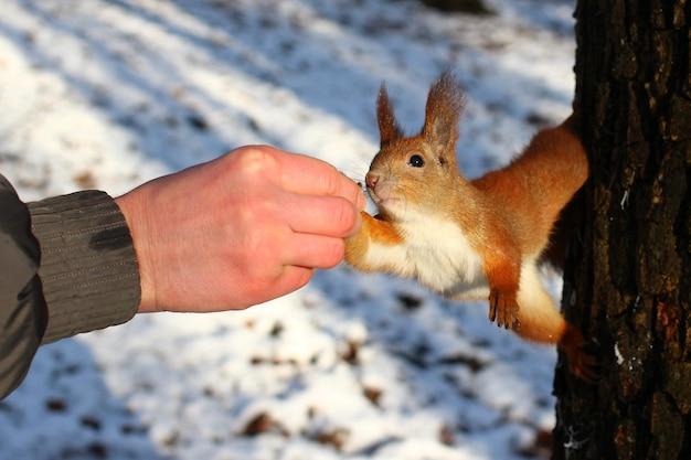 Mão alimenta um esquilo com uma noz em um parque de inverno.