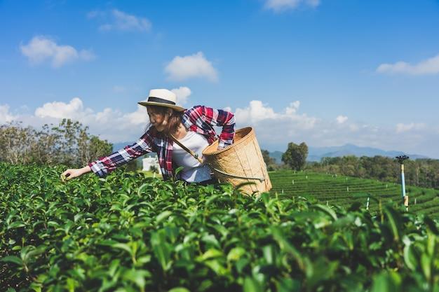 Mão asiática da mulher pegando as folhas de chá da plantação de chá,