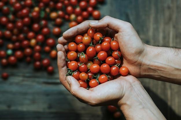 Mão cheia de tomates cereja orgânicos frescos