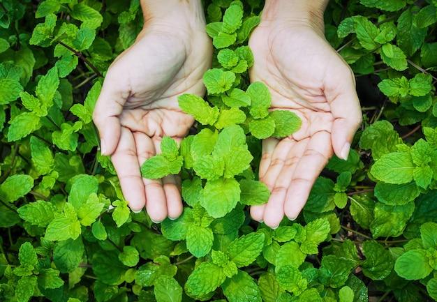 Mão com hortelã-pimenta vegetal ervas orgânicas com árvore de hortelã.