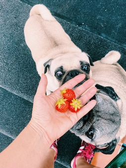 Mão com morangos recém colhidos do jardim e cachorros pug cheirando