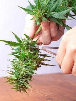 Mão com uma tesoura cortando planta de maconha