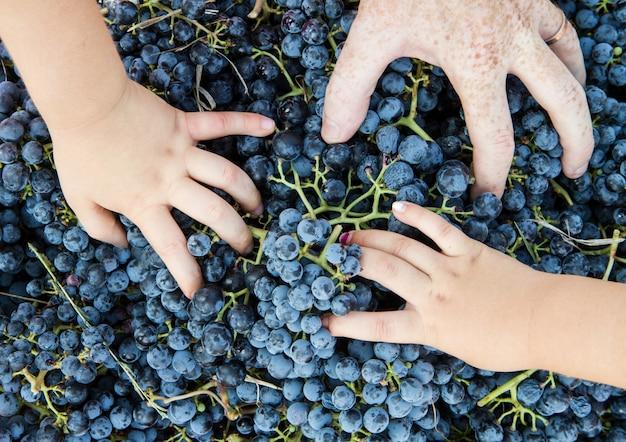 Mão criança, em, a, uvas, cesta