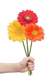 Mão da criança que mantém uma flor dos gerberas isolada no fundo branco.