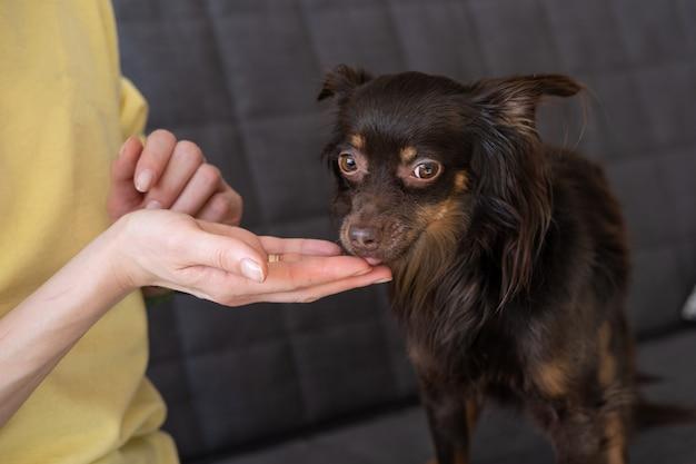 Mão da mulher caucasiana alimentando o terrier de brinquedo bonito engraçado marrom russo no sofá. conceito de cuidados de animais de estimação. amor e amizade entre humanos e animais. foto de alta qualidade