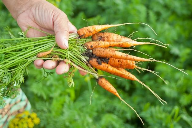 Mão da mulher idosa, segurando na mão um bando de cenouras da agricultura local