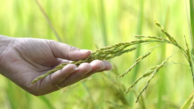 Mão da mulher que toca verificando plantas de arroz bonitas no campo de almofada lindo na exploração agrícola orgânica.