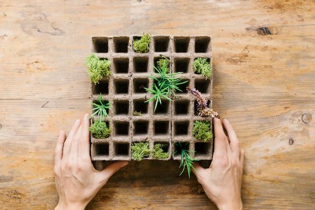 Mão da pessoa mudas pequenas plantas na bandeja de turfa