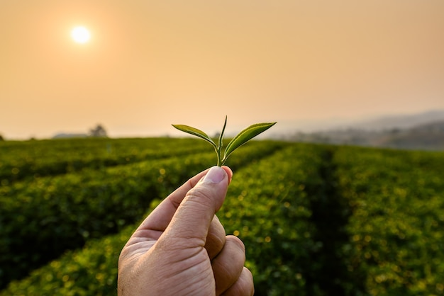 Mão de agricultor segurando folhas de chá verde em uma plantação de chá