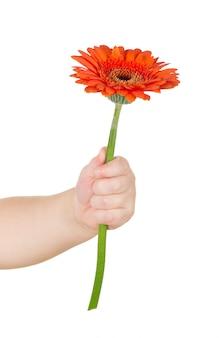 Mão de bebê segurando gerber vermelho