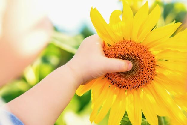 Mão de criança segurando girassol.