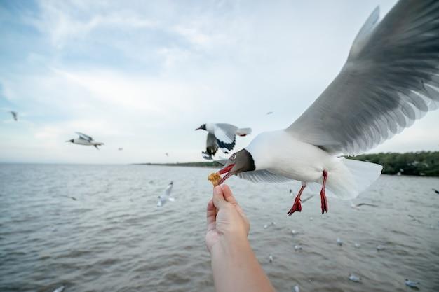 Mão de homem alimentando pássaro gaivota gaivota voando para comer comida de mão
