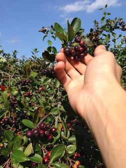 Mão de homem rasgando chokeberry preto no jardim