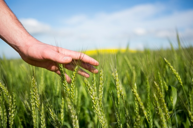 Mão de homem tocando culturas no campo