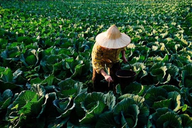 Mão de jardineira dando fertilizante químico para planta vegetal de repolho na plantação