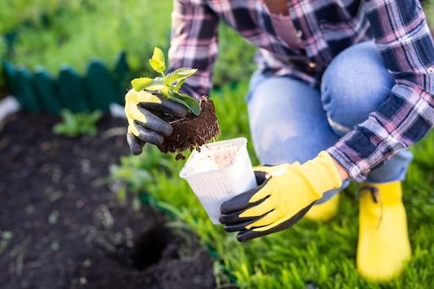 Mão de jardineiro mulher em luvas detém muda de pequena macieira nas mãos, preparando-se para plantá-la no solo. conceito de plantio de árvores