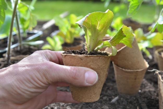 Mão de jardineiro segurando uma muda de salada crescendo em uma panela de turfa