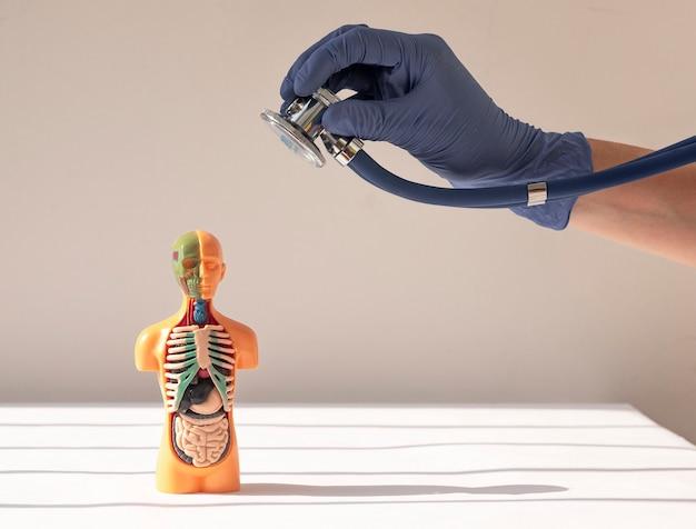 Mão de médico ouvindo com estetoscópio d modelo humano com conceito de exame médico de órgãos internos