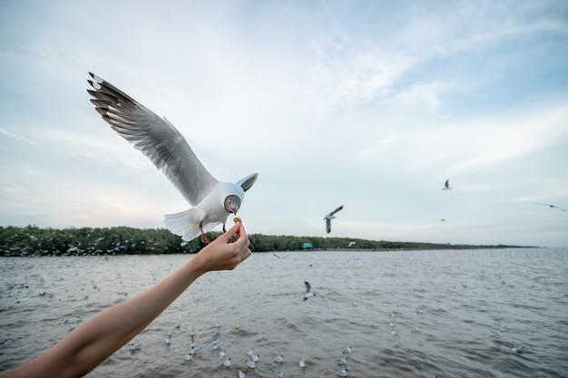 Mão de mulher alimentando pássaro gaivota gaivota voando para comer comida de mão