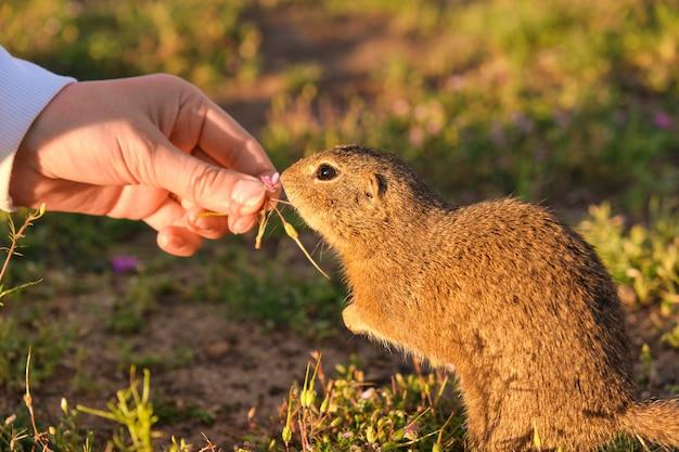 Mão de mulher closeup alimentando um esquilo à terra. gopher engraçado no campo ao pôr do sol