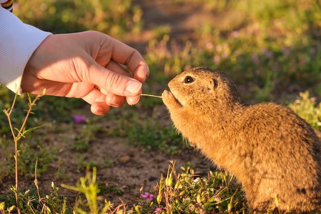 Mão de mulher closeup alimentando um esquilo à terra