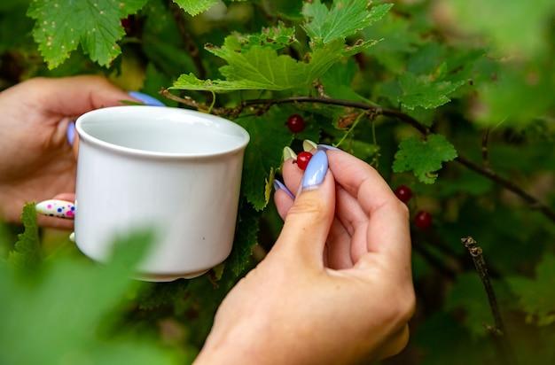 Mão de mulher colhendo groselha no jardim em um copo branco close-up sem rosto. conceito de colheita de colheita