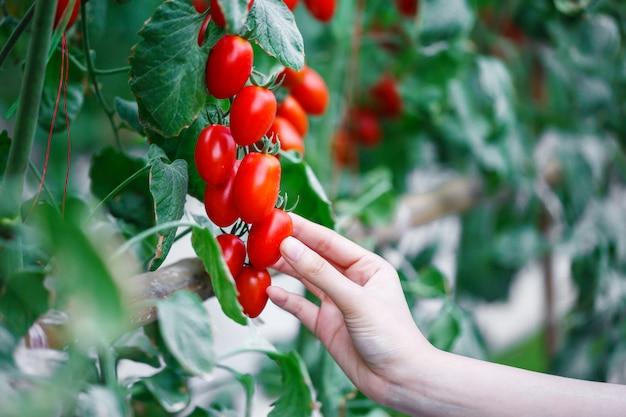 Mão de mulher colhendo tomates cereja vermelhos maduros na fazenda de casa verde