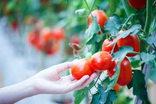 Mão de mulher colhendo tomates vermelhos maduros na fazenda de casa verde