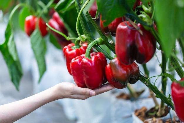 Mão de mulher escolhendo madura plantação de pimentão vermelho no jardim da fazenda