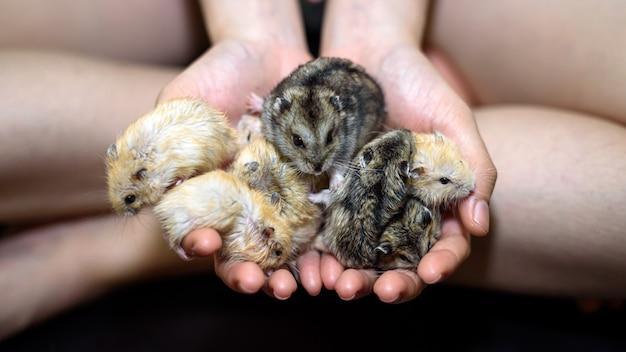 Mão de mulher fura adorável família de hamsters