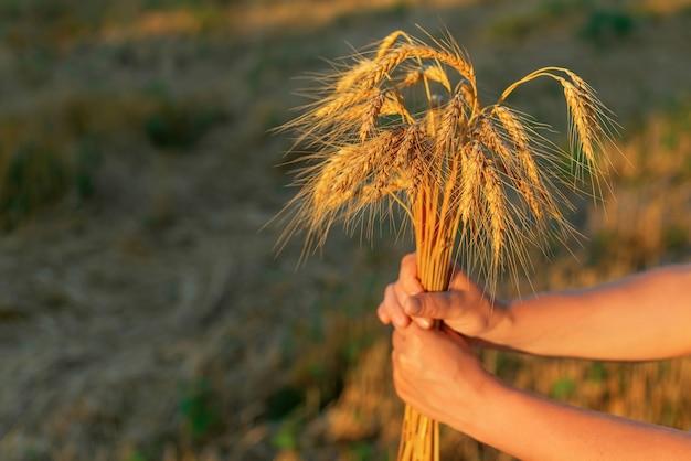 Mão de mulher segura espigas de trigo no fundo do campo o conceito de uma rica colheita