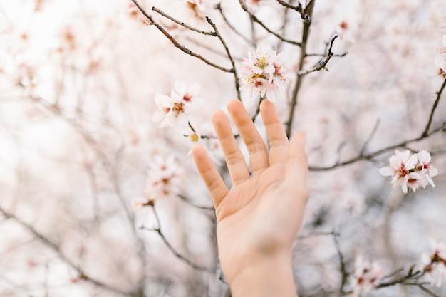 Mão de mulher tocando a árvore de flores de amêndoa. cerejeira com flores concursos. início surpreendente da primavera. foco seletivo. conceito de flores.