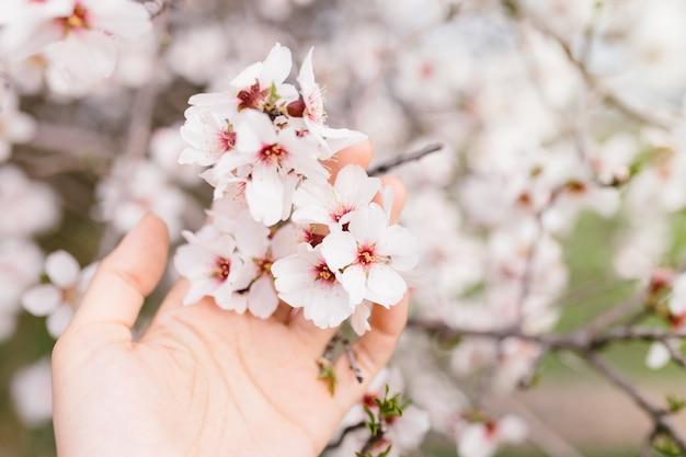 Mão de mulher tocando flores de amendoeira floresce em árvore. cerejeira com flores concursos. início surpreendente da primavera. foco seletivo. conceito de flores.