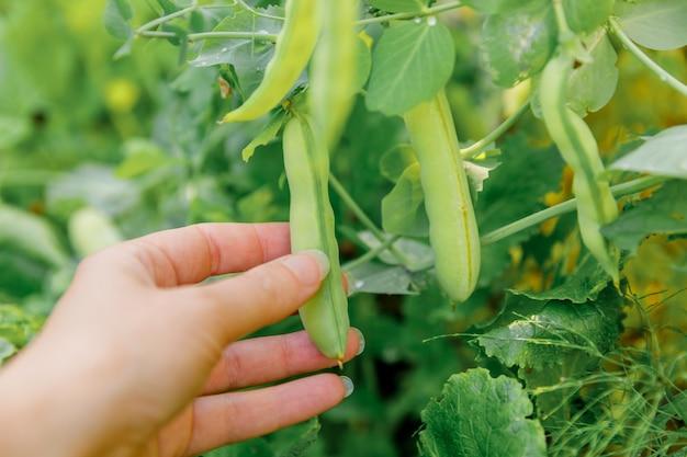 Mão de trabalhador agrícola feminino colhendo ervilhas verdes frescas maduras no galho no jardim