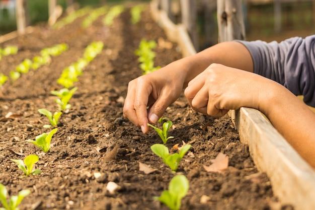 Mão de um agricultor asiático plantando uma salada minúscula de bebê vegetal como uma fileira no viveiro de plantas de madeira ou uma estufa como conceito de agricultura