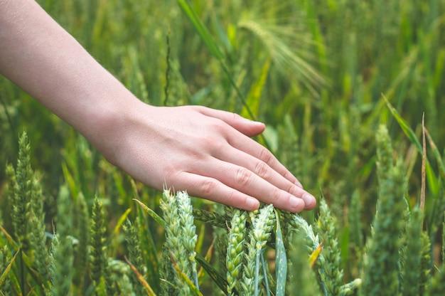 Mão de um fazendeiro tocando espigas de trigo maduras no início do verão